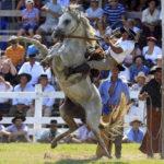 Объездка молодой лошади