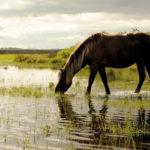 Каспийская лошадь пьет воду