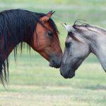 Конь и кобыла разной масти