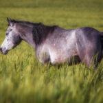 Сивый конь