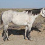Светло - серая подмастка лошади